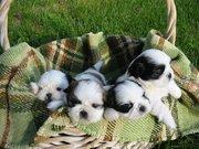Charming shih tzu puppies awaiting re homing